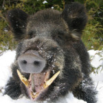 Highly Radioactive Boar Found In Germany This Week