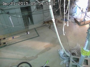 Foxes Invade Fukushima Unit 2 Reactor Building